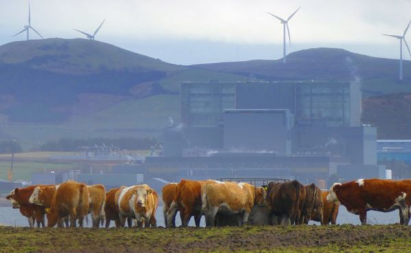 View of cows and wind turbines