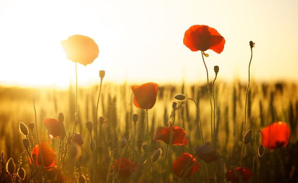 Field of poppies and a sunset