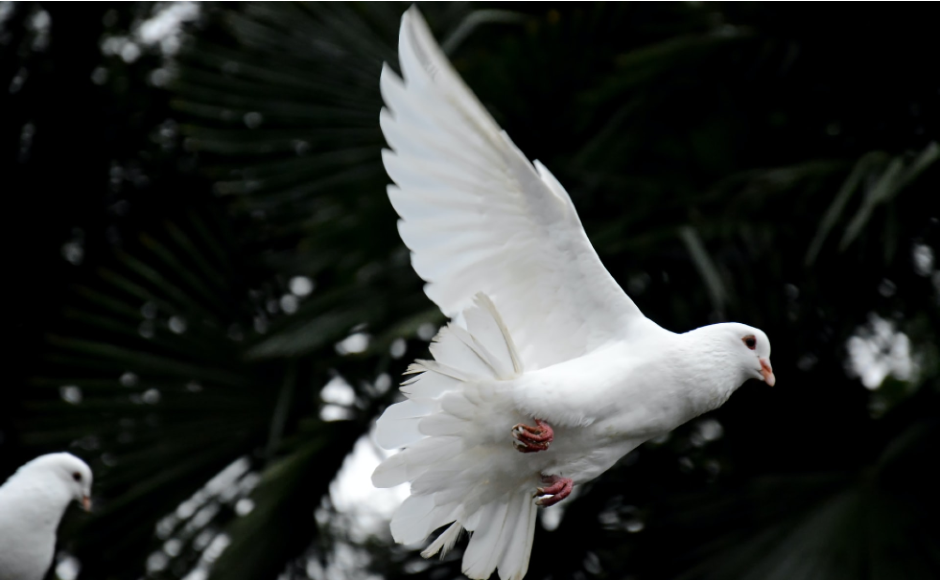 A picture of a dove