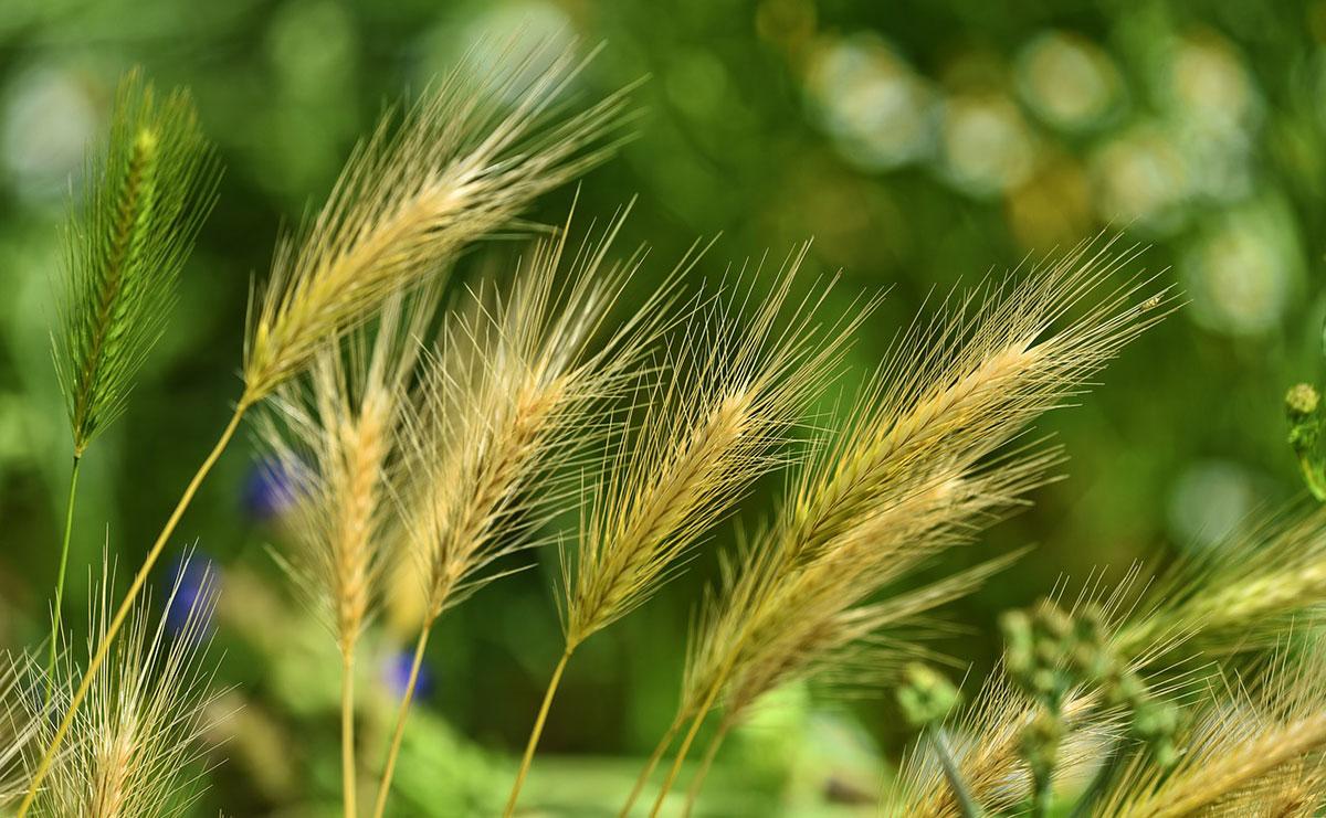 Close up of barley growing