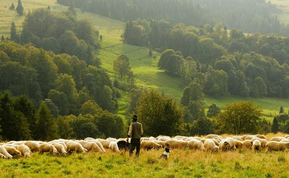 Man watching sheep with green hills in background