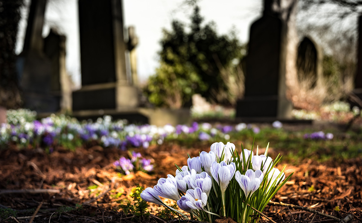 Crocus in a graveyard